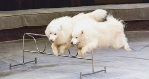 Two white dogs jump over barrier in circus. Dogs in the circus. Cute dogs white Samoyeds synchronously jump over a metal barrier in the circus arena Stock Photography