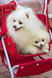 The two white dogs in pram Royalty Free Stock Photo