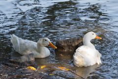 Two white domestic ducks are swimming Royalty Free Stock Photos