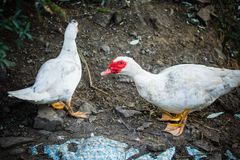 Two white domestic muscovy ducks Royalty Free Stock Images