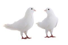 Two white  dove Stock Image