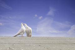 Two white doves. In courtship on a grey roof with blue sky background. Love, spring or happiness concept royalty free stock photos