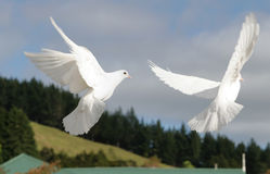 Two white doves flying. Beautiful pair of white doves flying, wings outstretched stock photography