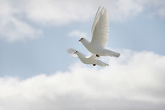 Two white doves flying. Beautiful pair of white doves flying, wings outstretched stock photo