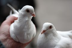 Two white doves in hand royalty free stock photography