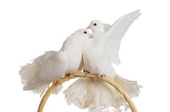Two white doves kissing and hugging Royalty Free Stock Photography