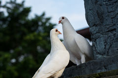 Two white doves Stock Photos