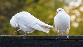 Two white doves. A pair of white doves perching on a fence royalty free stock photo