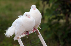 Two white doves perched on a cage door Stock Images