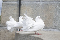 Two white doves Stock Image