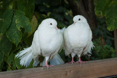 Two white doves Stock Photography