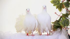 Two White Doves stock video