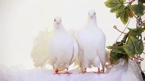 Two White Doves. Sitting on a white robe stock video