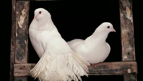 Two White Doves. The two white doves sitting in their house stock footage