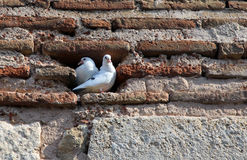 Two white doves in a slot of brick wall Royalty Free Stock Image