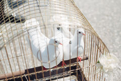 Two white doves. Wedding, marriage tradition ceremony Royalty Free Stock Photos