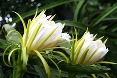 Two white Dragon Fruit flower against the back ground with bokeh. In Asia they called Dragon Fruit while in Europe they called Pitaya. The science name is Royalty Free Stock Images