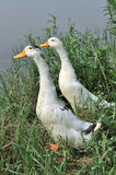 Two White duck. Stand on the bank Royalty Free Stock Photos