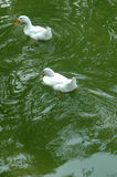 Two White Duck on Green Water Stock Image