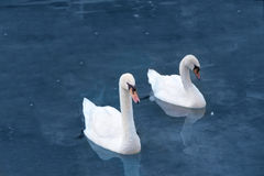 Two white Duck Royalty Free Stock Photography