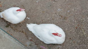 Two white duck with a red beak sitting on the ground.  stock video