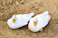 Two white duck sitting next to a pond or lake Stock Photo