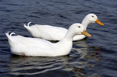 Two white ducks. Swimming on a pond Royalty Free Stock Photos
