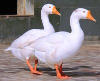 Two white ducks. At a temple at Chitrkoot MP India Royalty Free Stock Image