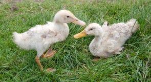 Two white ducks Stock Photo
