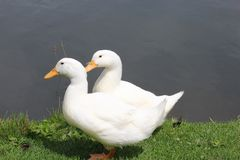 Two White Ducks Stock Photography