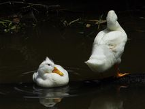 Two white ducks are bathing in the dark royalty free stock photo