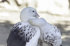 Two white ducks cuddling and grooming in the shade Royalty Free Stock Image