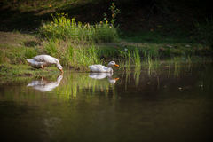 Two white ducks entering a pond for a swim Royalty Free Stock Image