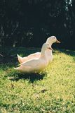 Two White Ducks on Green Grass Field Royalty Free Stock Photos