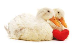 Two white ducks and heart. Royalty Free Stock Photos