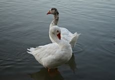 Two white ducks Royalty Free Stock Photos
