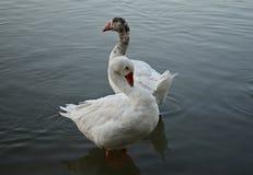 Two white ducks Royalty Free Stock Photos