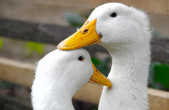 Two white ducks Stock Image