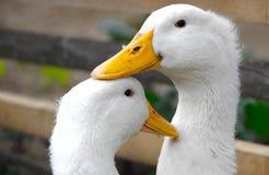 Two white ducks Stock Image