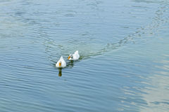 Two white ducks are swimming Royalty Free Stock Photography