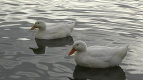 Two White Ducks Swimming. A pair of ducks paddling around the water stock video footage