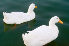 Two White Ducks Swimming in Pond Stock Image