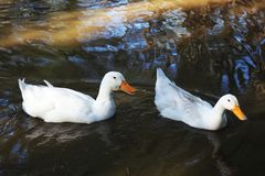 Two ducks in the water looking for food Stock Photo