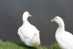 Two White Ducks Stock Photos