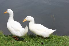 Two White Ducks Stock Images