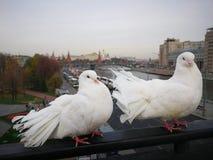 Duve birds on Kremlin background. Two white duve birds on Kreml background stock photography