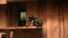 Two White-Eared Marmosets are sitting together. Two White-Eared Marmosets are sitting together and touching each other. In the zoo stock footage