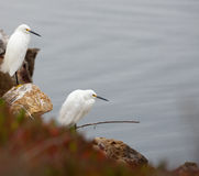 Two White Egrets Royalty Free Stock Images