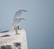 Two White Egrets Stock Images