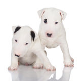 Two white english bull terrier puppies Stock Photography